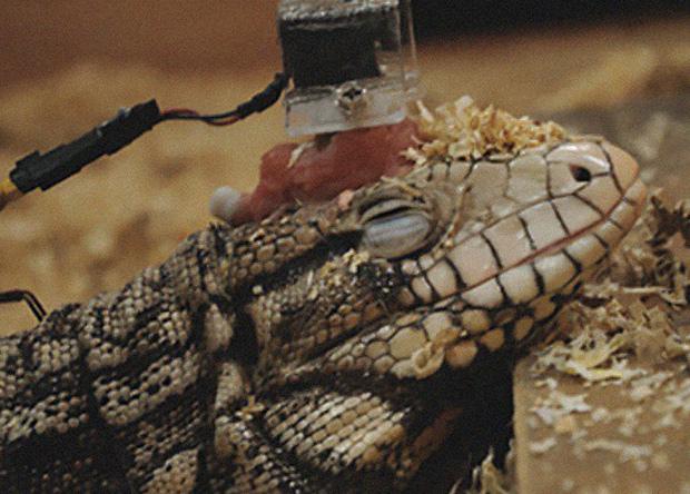 Французские учёные провели эксперимент над ящерицами тегу