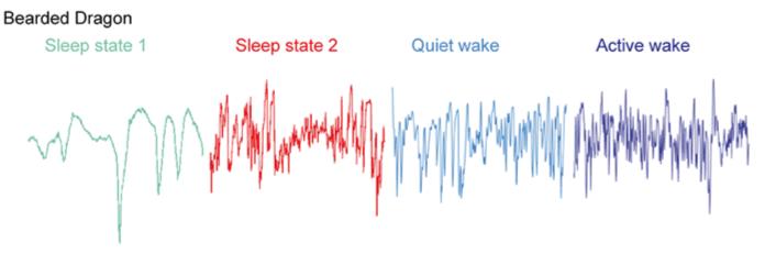 Так выглядит диаграмма сна ящериц