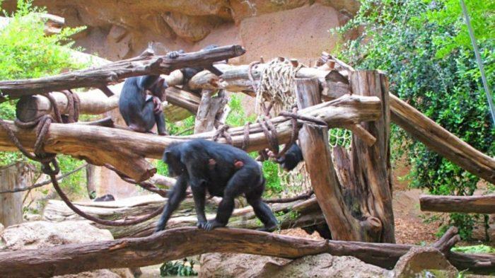Шимпанзе в национальном парке Таи