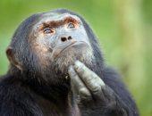 Шимпанзе охотней делятся едой со своими друзьями