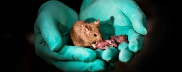 Китайские учёные получили потомство от однополой пары мышей