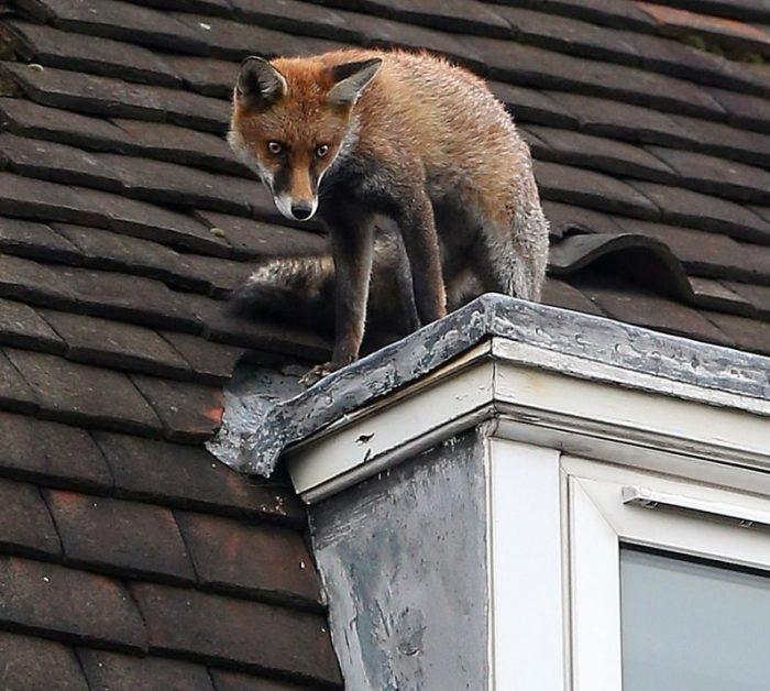 Лиса забралась на крышу трёхэтажного дома