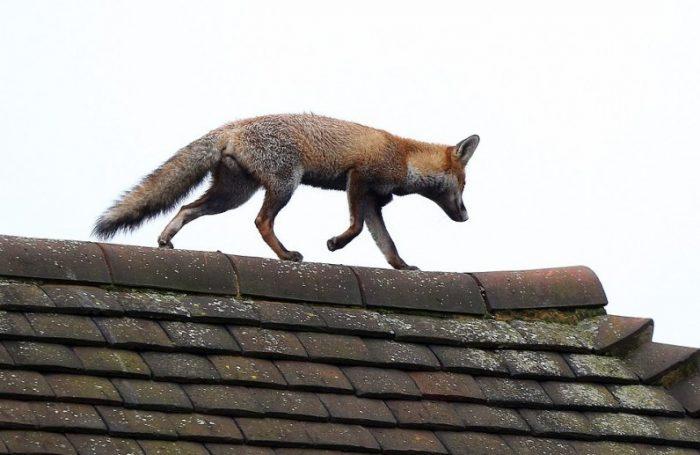 Животное не боится гулять по крыше