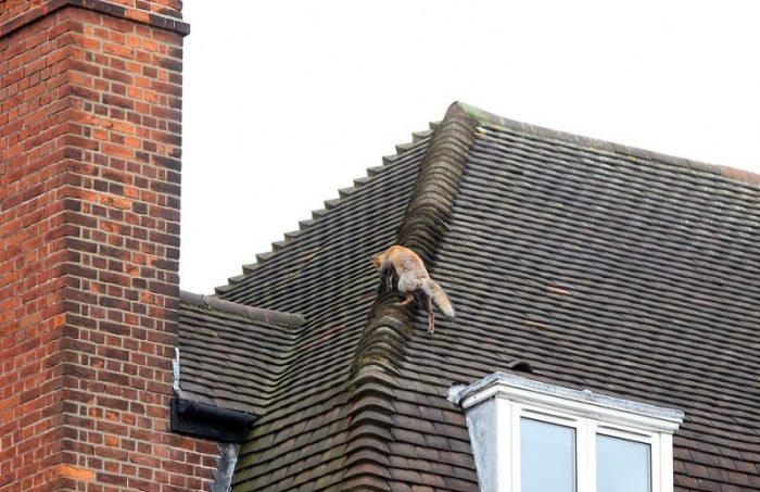 Лисица легко перемещается по крыше