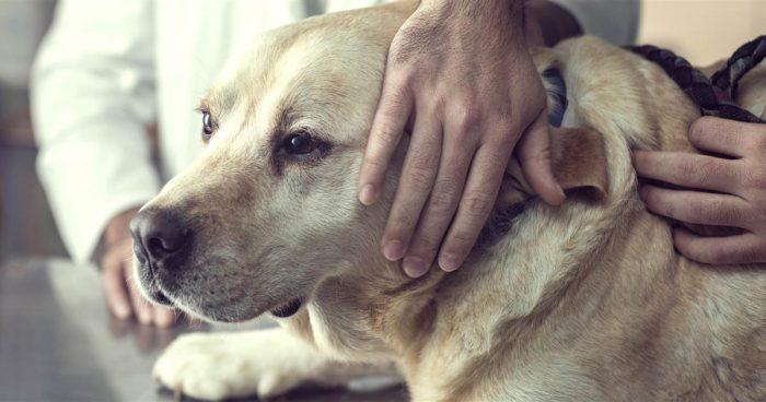 старая собака у ветеринара