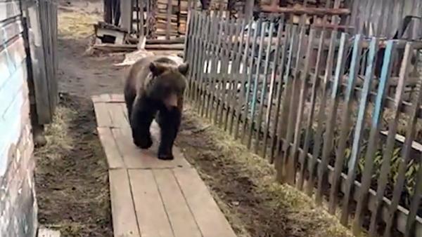 Местные жители видели медведя вблизи своих домов