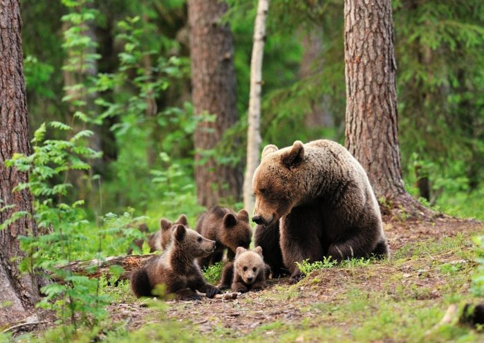 бурая медведица с медвежатами