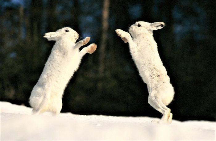 игра зайцев-беляков