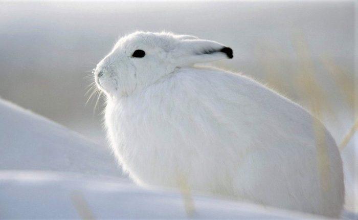 маскировочный окрас зайца-беляка