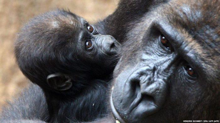 Самцы горилл заботятся о детёнышах