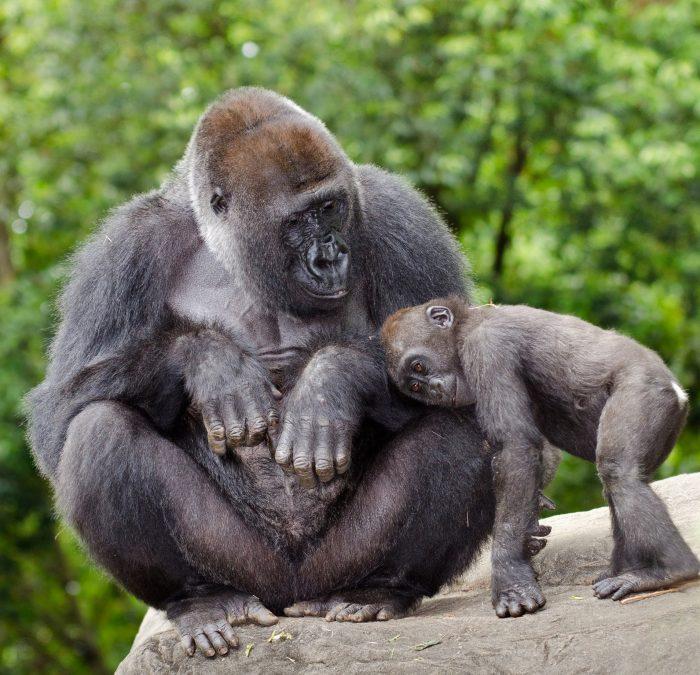 Горилла-самец и детёныш