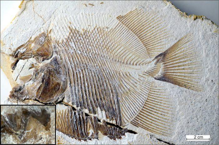 Останки древнейшей пираньи