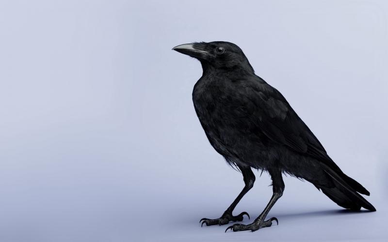 Учёные выяснили, что вороны умнее, чем считалось ранее