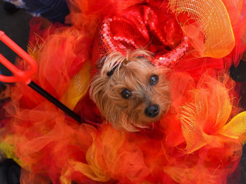 Костюм для собаки на Хэллоуин – фото-идеи