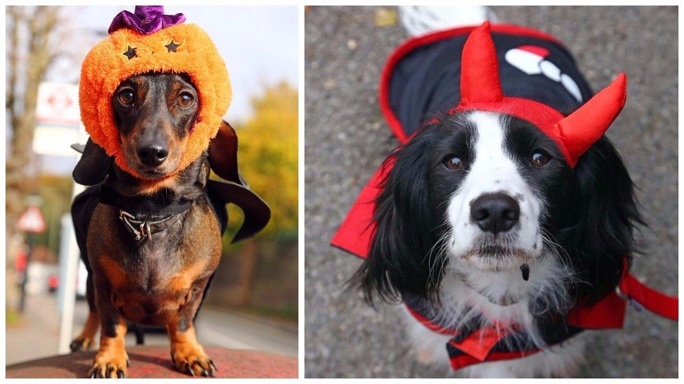 Собаки в костюмах для Хэллоуина