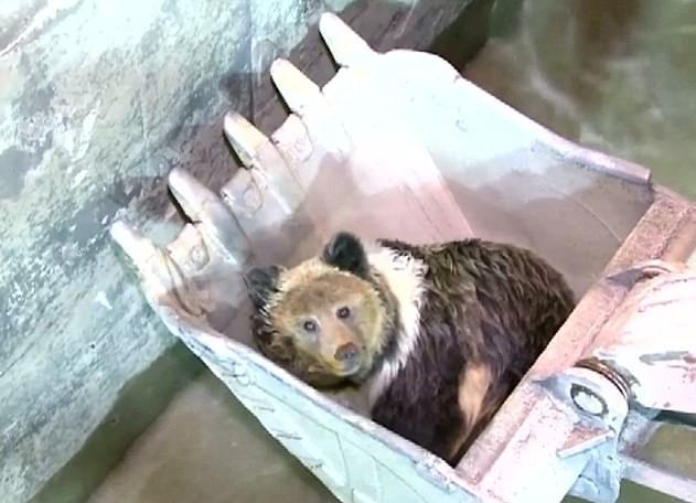 Медведь в ковше экскаватора