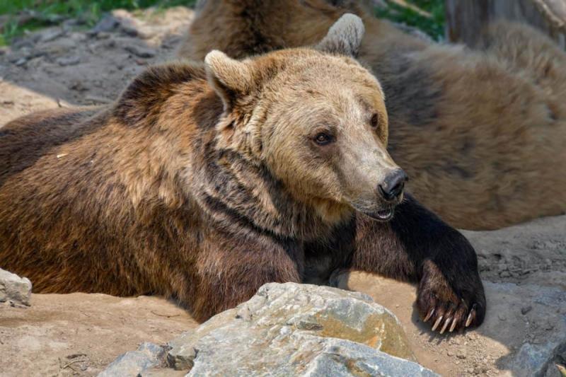 В Китае упавшего медведя спасли ковшом экскаватора
