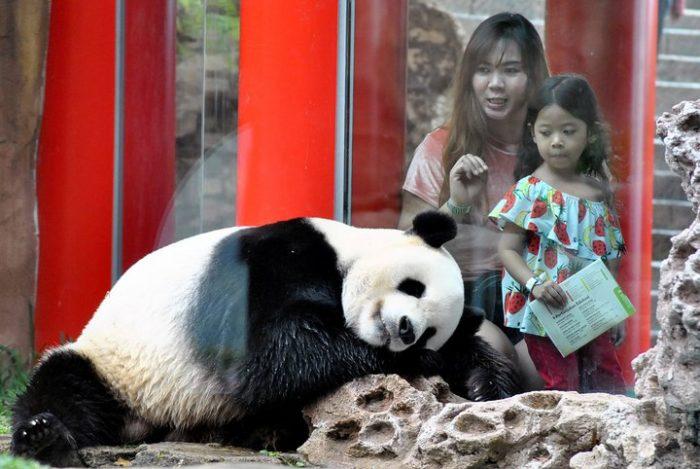 Панда в зоопарке провинции Сычуань