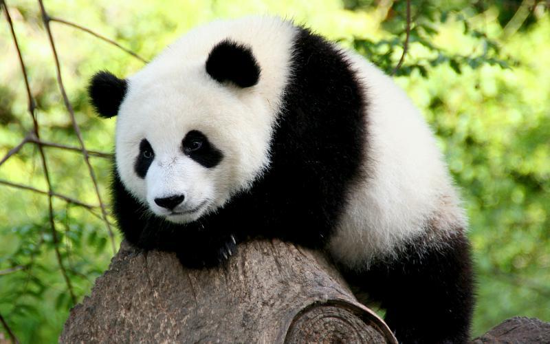 Туристам в Китае запретили фотографироваться с пандами
