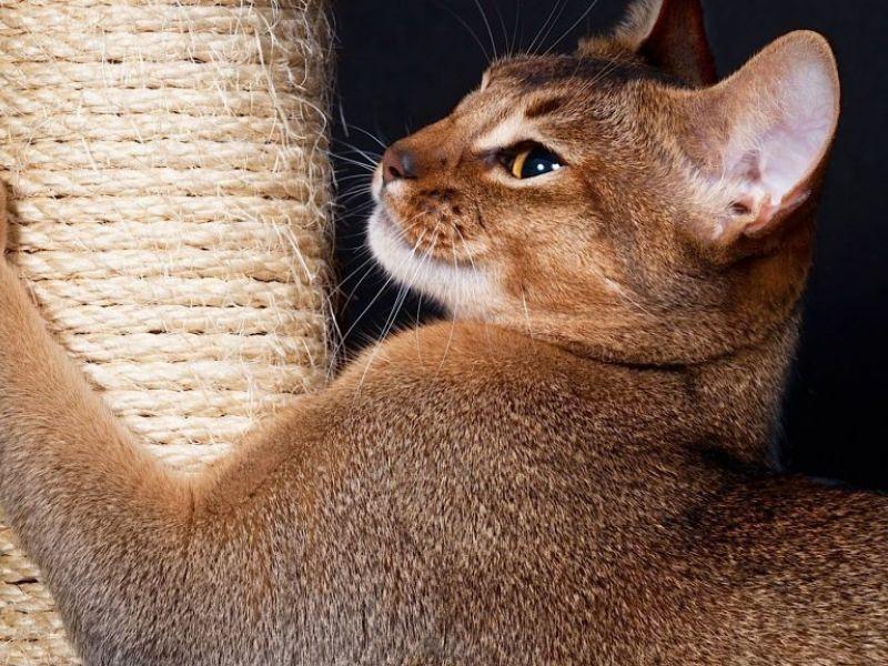 Как приучить котенка или взрослую кошку к когтеточке