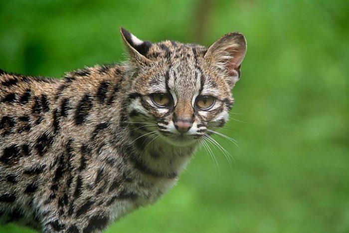 Южноамериканская длиннохвостая кошка (маргай) близка к исчезновению