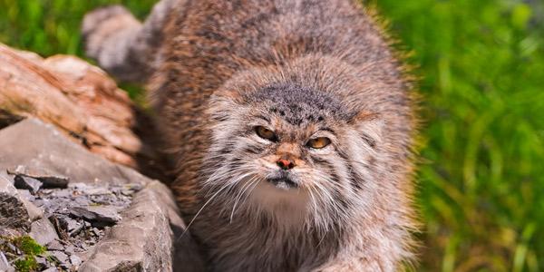 Манул (Палласов кот) занесён в Красную книгу