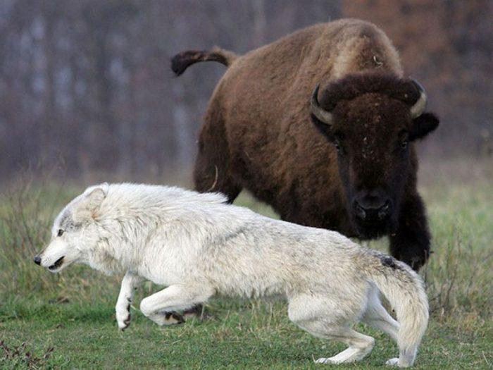 волк и зубр