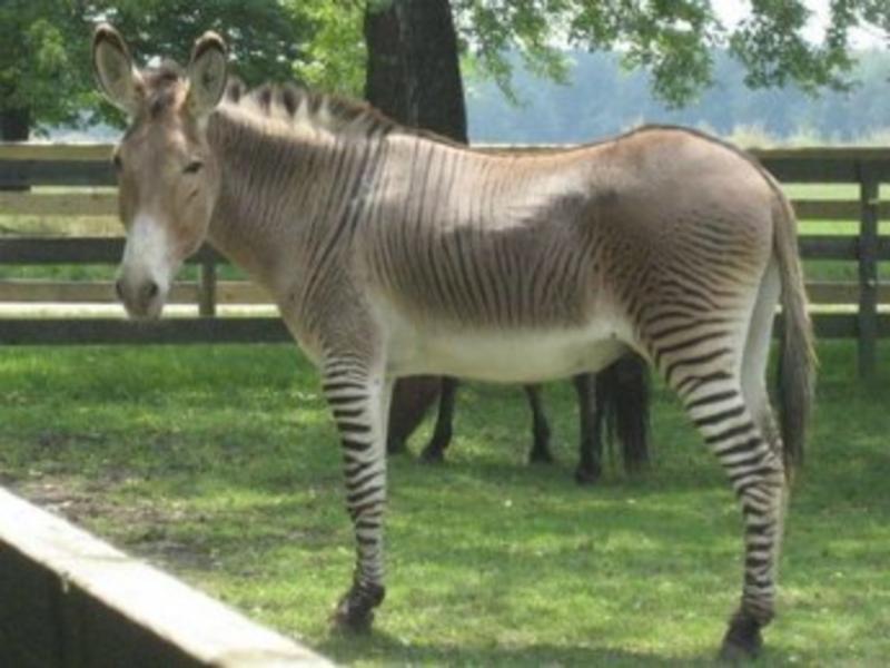 В Великобритании родился уникальный детёныш осла и зебры