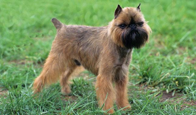 Брюссельский гриффон (малая бельгийская собака)