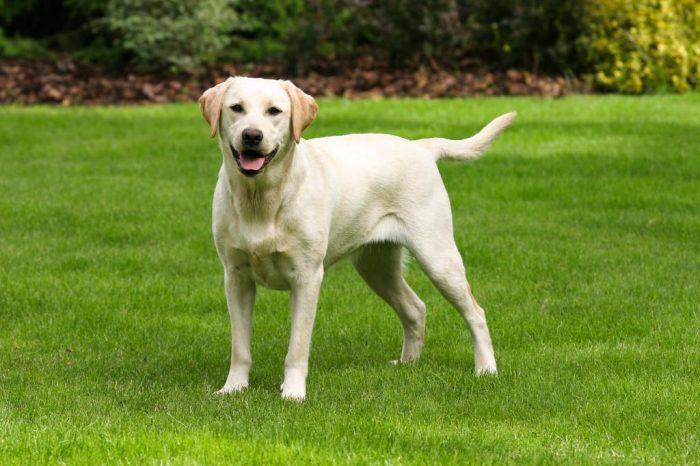 Лабрадор–ретривер — самая добрая порода собак