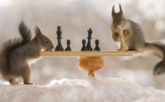 белки играют в шахматы