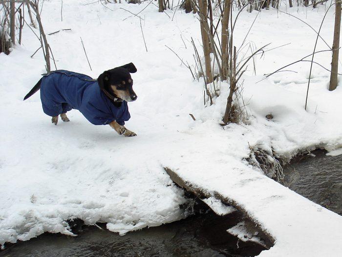 Такса на зимней прогулке