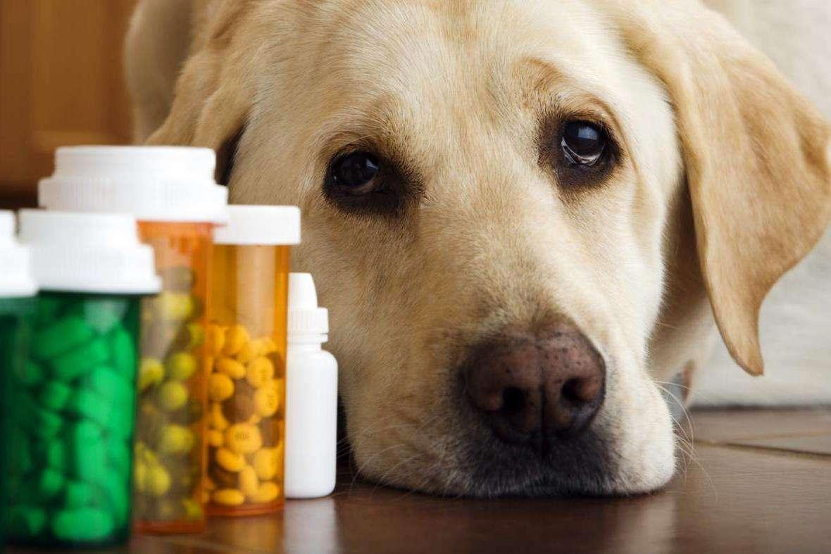 Эпилепсия у собак симптомы и лечение - виды, причины, как прекратить приступы, последствия
