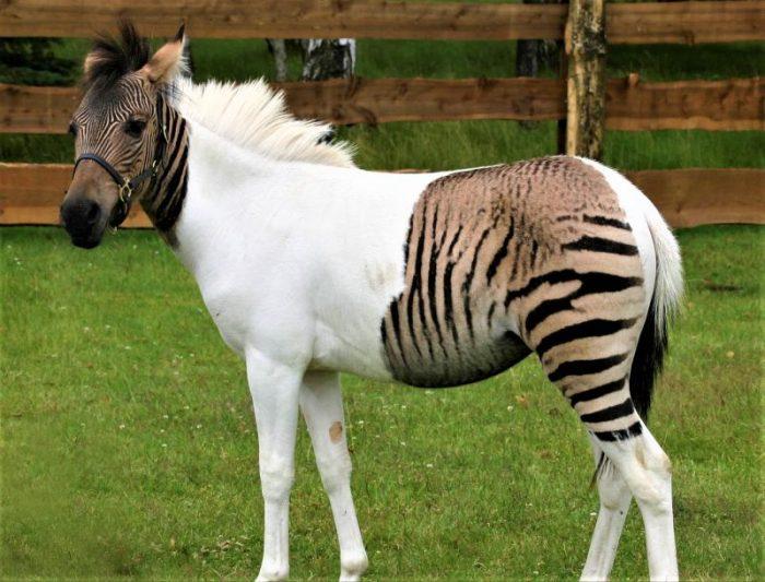 Самая необычная и редкая лошадь — зеброид