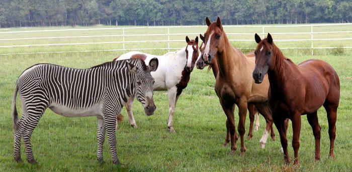 зебра и лошади