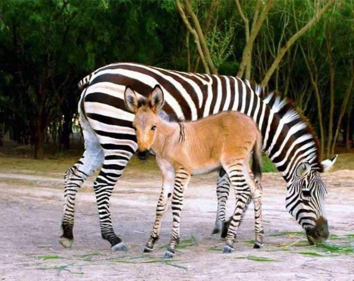 зебра и зеброид