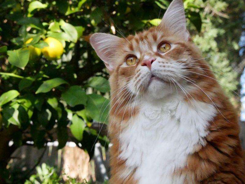 Самый большой домашний кот в мире: фото
