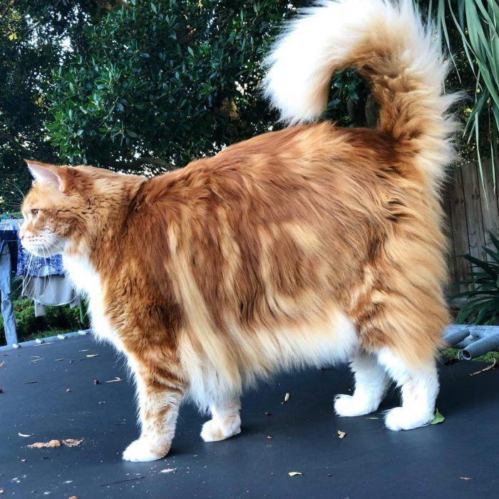 Фото самого большого кота в мире