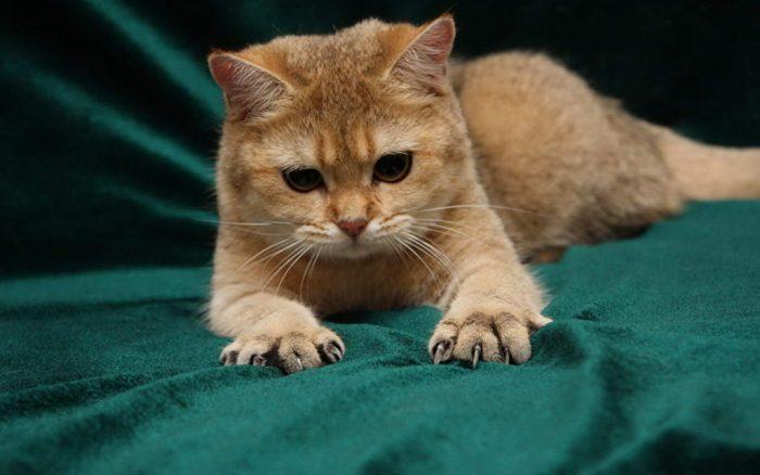 Рыжий кот выпустил когти