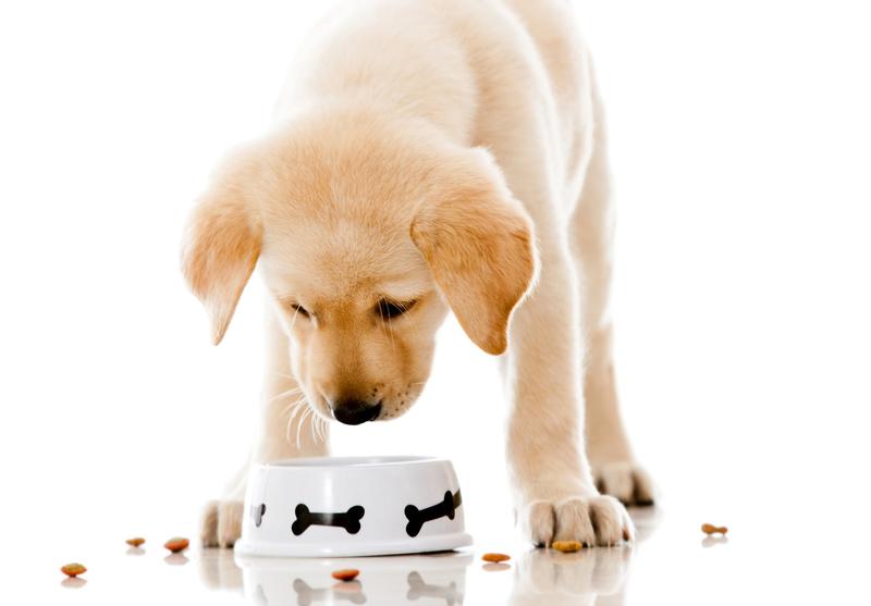 Чем и сколько раз кормить щенка промышленый или натуральный корм