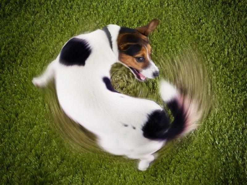 Собака гонится за своим хвостом