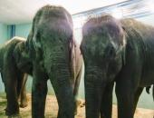 Конкурс на лучшие клички для слонят из Мьянмы