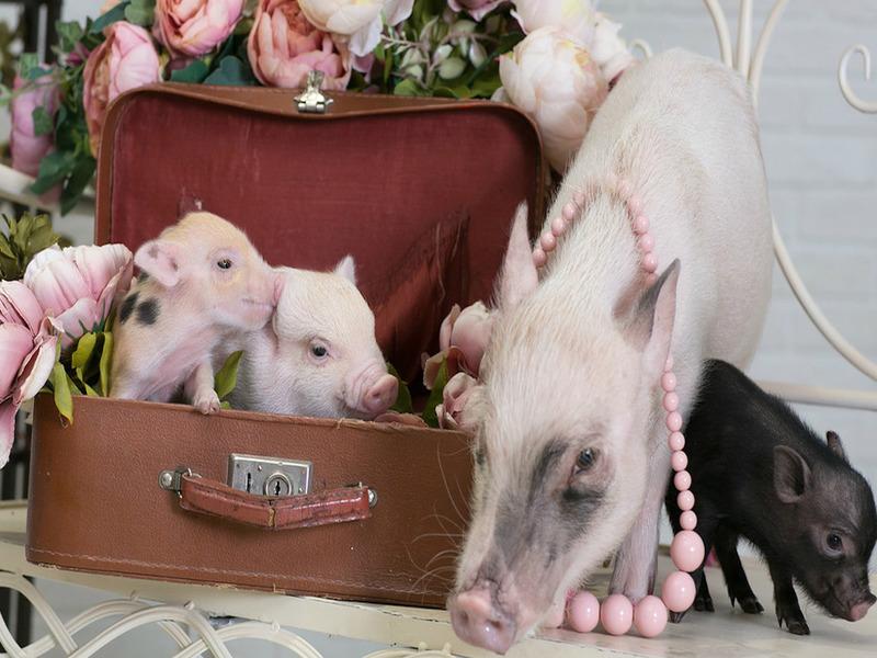 Пиги-бум: как свинки работают во время праздников
