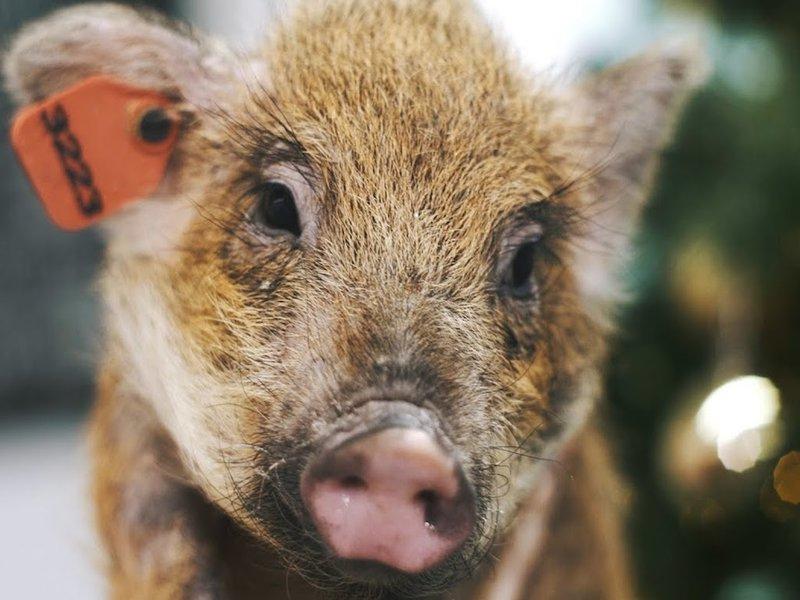 Сотрудники НГУ подложили свинью своим студентам