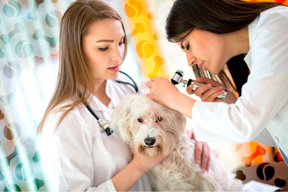 Пиодермия у собак: фото, симптомы, лечение