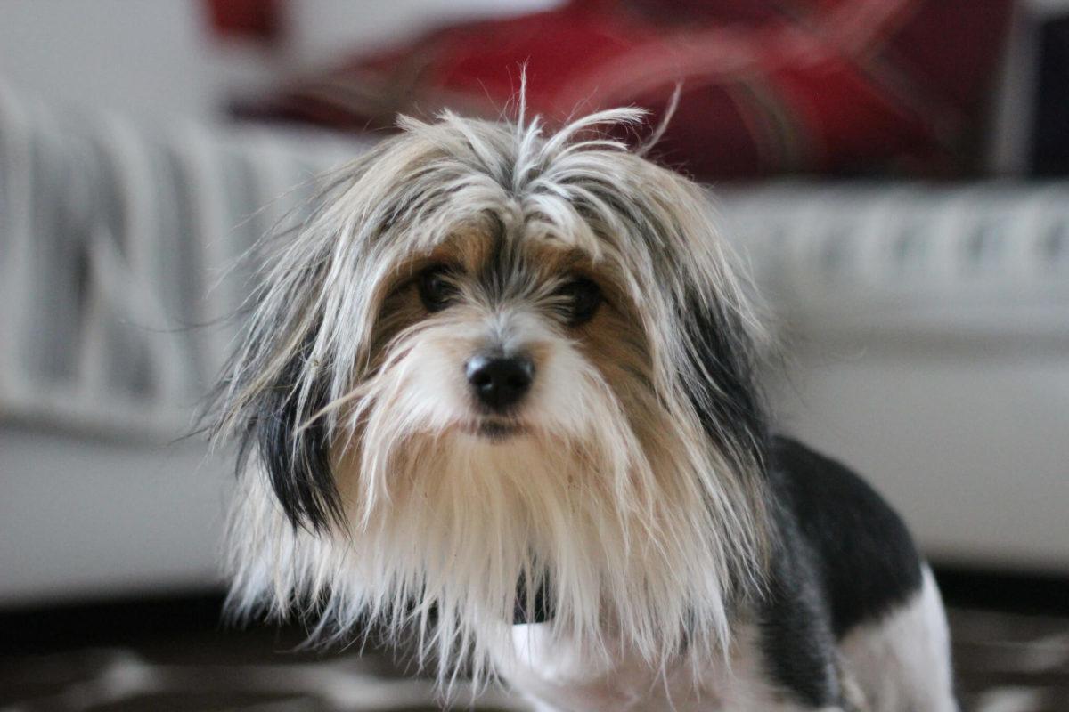 Бивер-йорк: рекомендации по содержанию собаки
