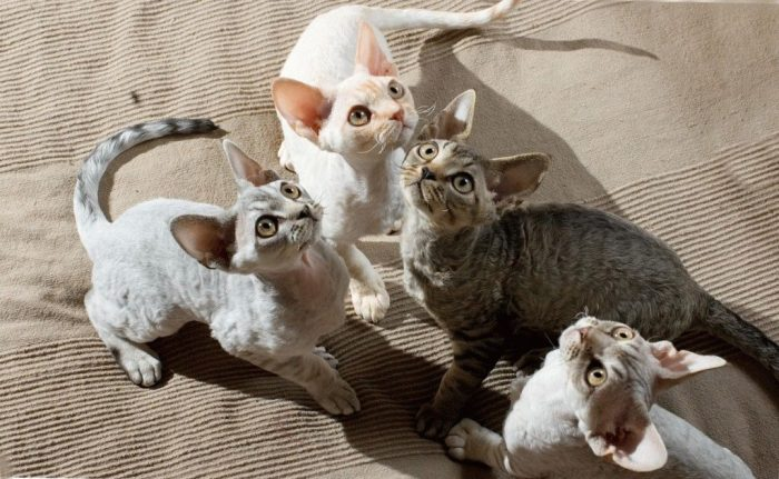 кошки породы девон рекс