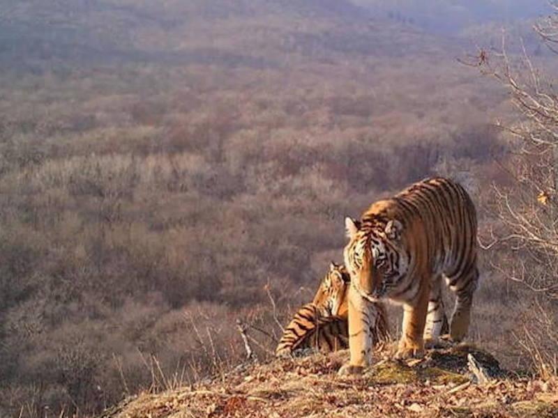 Селфи с потомством: тигрица учит детёнышей фотографироваться