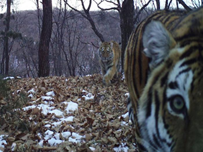 Фотоловушка зафиксировала тигрицу