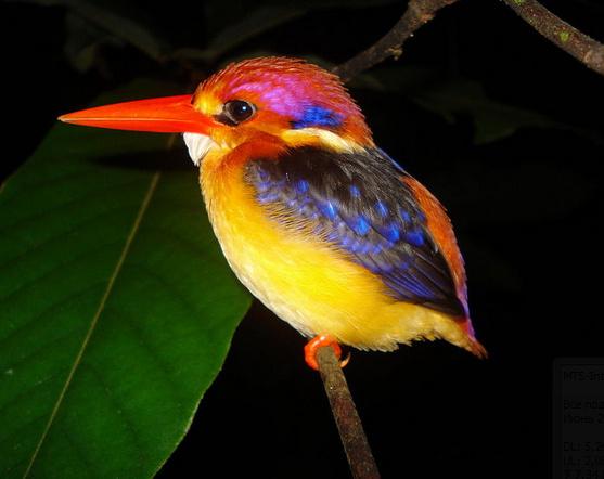 Рубиновый зимородок